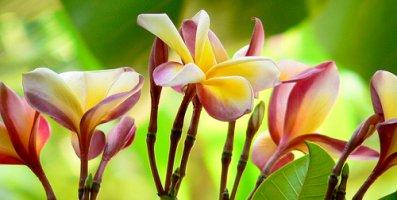 Champaca blooms