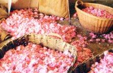 Rose petals, Grasse