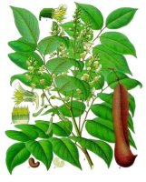 Balsam of Tolu