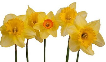 Daffodils isolated against white background