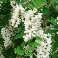 Black locust tree blossoms