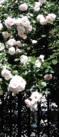 rose-slice-2