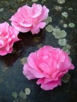Lichen Stone Rose Oxford