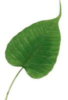 Pipal leaf