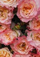 Augusta Luise rose
