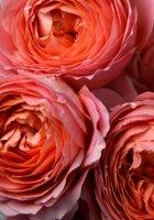 Romantic Antike rose
