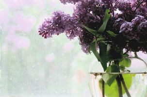 lilacs in vase, more lilacs through window