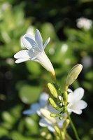 freesia blossom