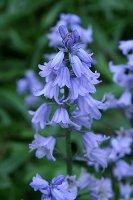 Bluebells, closeup