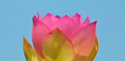 Lotus Flower Kenilworth Aquatic Gardens
