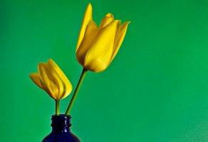 tulips, blue bottle