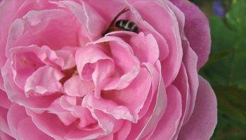 La Reine Victoria rose
