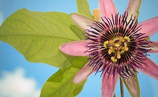 Passiflora Perfume Passion