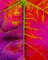 up close with a California autumn leaf