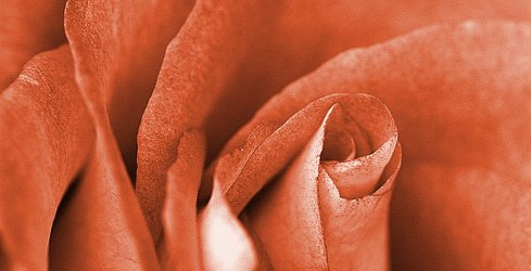 rust-colored rose