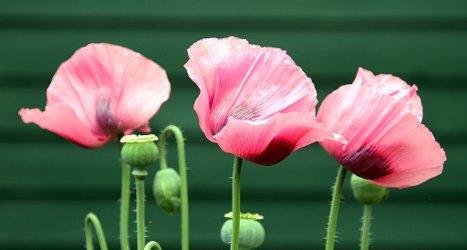 3-poppies