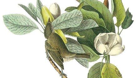 Warbler, John James Audubon