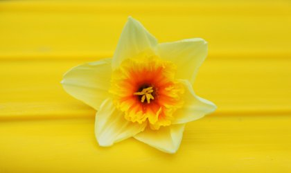 daffodil on yellow