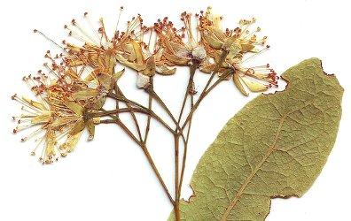 Linden, dried leaf and flower