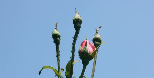tall roses