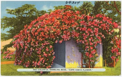 The Colorful Rambling Rose, Cape Cod's Flower