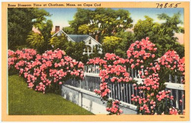 Rose Blossom Time at Chatham, Mass. on Cape Cod