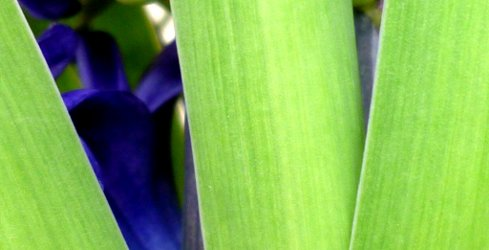 Hyacinth and leaves