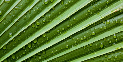 Raindrops on Palm Fronds