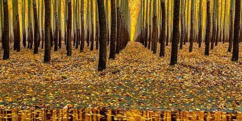 Poplar trees reflection