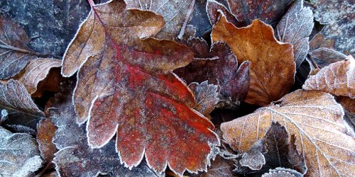 leaves, first frost