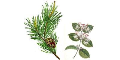 jasmine and pine