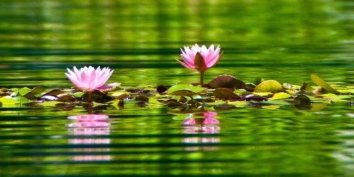 Nenúfar, water lily