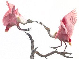 roseate spoonbill courtship dance
