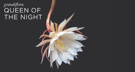 Grandiflora Queen of the Night brand visual