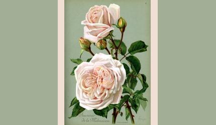 Souvenir de la Malmaison rose