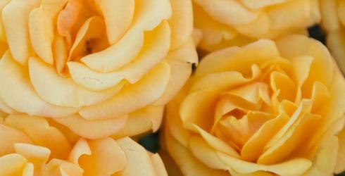 rose amber flush