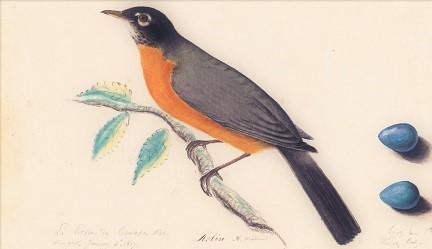Audubon, American Robin